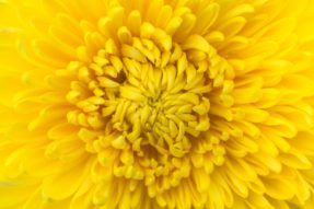 Glowing Chrysanthemum